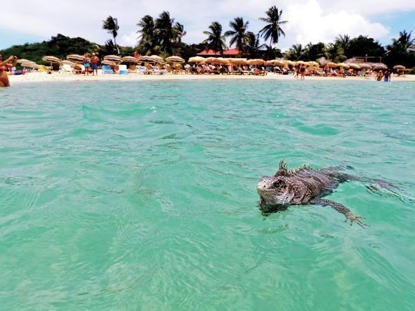 Iguana schwimmt