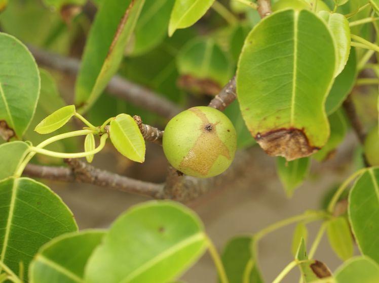 Hippomane_mancinella_(fruit)